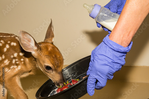 Whitetail Deer Fawn Rehabilitation