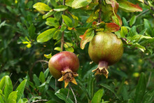 Young Fruit Pomegranate Hangin...