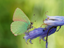 Green Hairstreak Butterfly On Bluebell