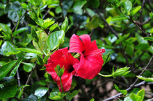 Chinese Hibiscus Shrub With Re...