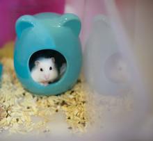 Cute Winter White Dwarf Hamste...