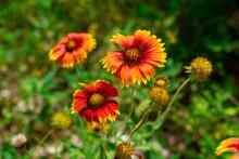 Blanket Flower (Gaillardia Pulchella) Close Up, Red, Orange And Yellow - Davie, Florida, USA