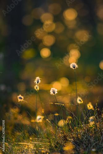 Fotografia, Obraz  Summer evening light colored tussock cottongrass