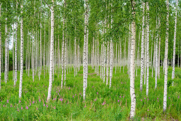 FototapetaNature of Finland. Trees in the birch wood in a row in summer
