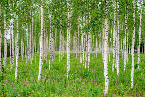 Nature of Finland. Trees in the birch wood in a row in summer