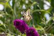 Schmetterling Schwalbenschwanz auf Flieder