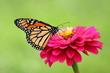 Leinwandbild Motiv A gorgeous Monarch Butterfly feeds on a bright pink heirloom zinnia flower in my garden.