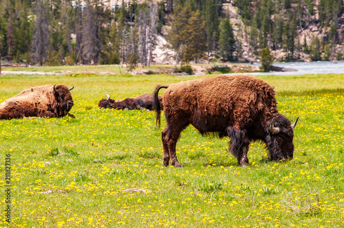 Foto op Canvas Bison Bison grazing with others sleeping in background