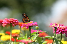 A Monarch Butterfly Feeds In M...
