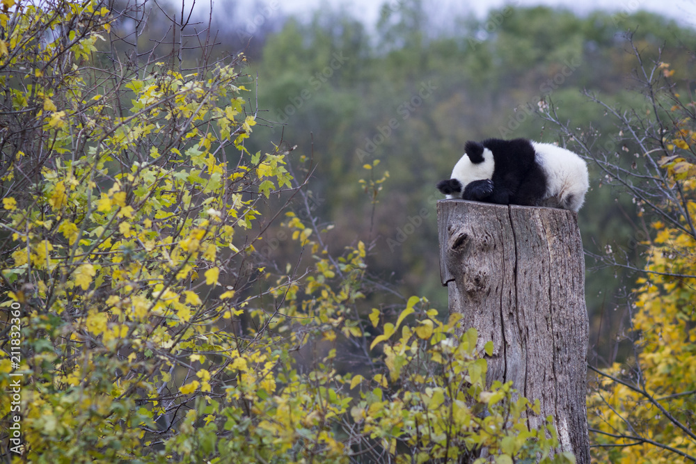 Panda bear sleeps on a high stump