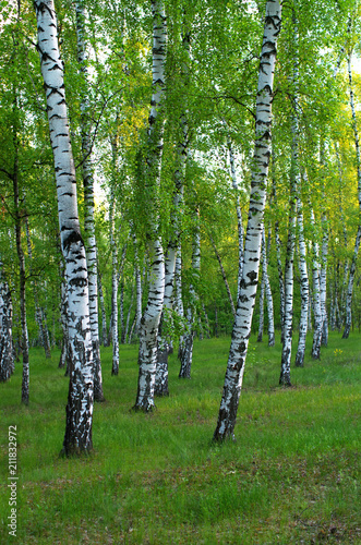birch grove in the early morning, vertical composition