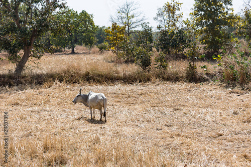 A bull is grazing on rural village paddy farm after harvesting of paddy in the sunny day Poster
