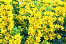 Beautiful Yellow Bells Blooming In The Garden.