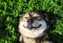 -cute Dog Lying On Lush Green Grass With Closed Eyes From Pleasure Funny