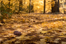 Pine Cone On Forest Floor In F...