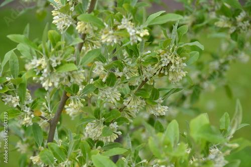 Elaeagnus umbellata in bloom