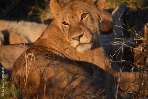 Zdjęcie XXL Lew w Botswanie