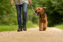 Airedale Terrier. Dog Handler ...