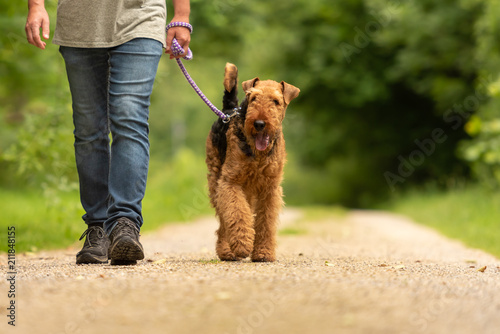 fototapeta na drzwi i meble Airedale Terrier. Dog handler is walking with his odedient dog on the road in a forest.