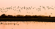 Flock Of Ducks Flying At Sunset.