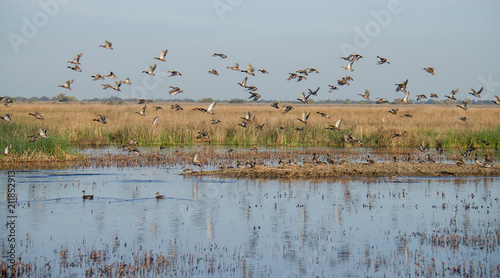 Fotografía Mixed flock of ducks flying over wetlands