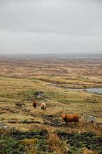 Highland Cattle In Rannoch Moor