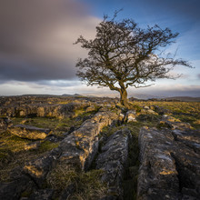 A Lone Weathered Tree In Amongst The Limestone Pavement Of The Yorkshire Dales National Park, Yorkshire