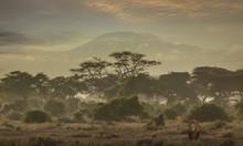 Lion Under Mount Kilimanjaro In Amboseli National Park, Kenya