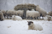 White Sheep Covered In Snow Lying Down In Snow And Sheep Eating Hay, Burwash, East Sussex