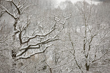 Snow Covered Tree Branches, Burwash, East Sussex