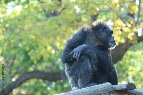 Fotografie, Obraz  Chimp / Chimpanzee Sitting Looking Away