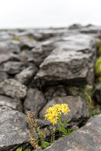 Yellow Flower Among The Clints...