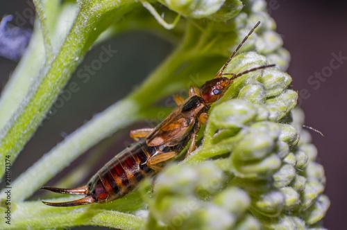 Fotografie, Obraz  small earwig on green flowers buds in forest