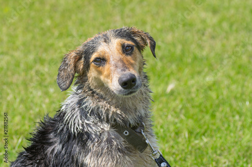 Fotografie, Obraz  Outdoor portrait of wet cross breed of hunting dog against green background