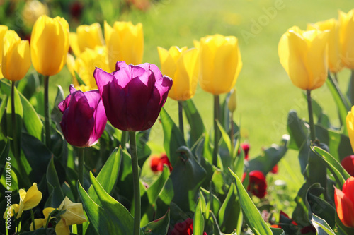 Fototapety, obrazy: Blooming tulips in Russia