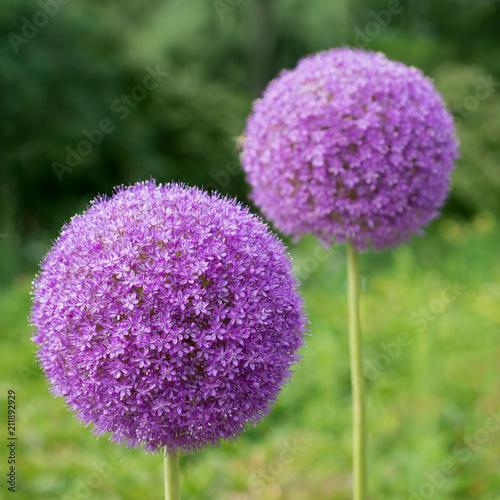 Fényképezés Decorative flower Onions round, Allium