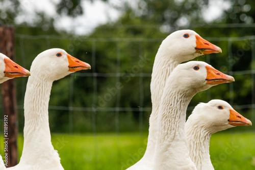 Fotografia gansos en el campo