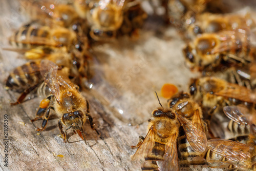 Foto op Aluminium Macrofotografie Honey bees with pollen trying to enter the hive on a landing board - macro view from above