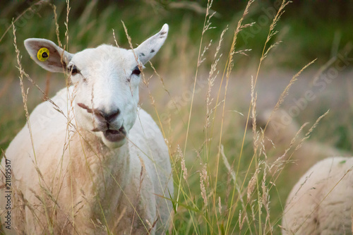 Fotografie, Obraz  obeja comiendo pasto en el campo