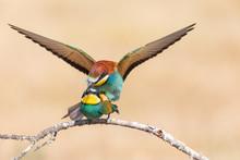 Birds Mating On Tree Branch