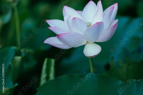 Foto op Canvas Lotusbloem beautiful pink lotus flower with green leaves in pond