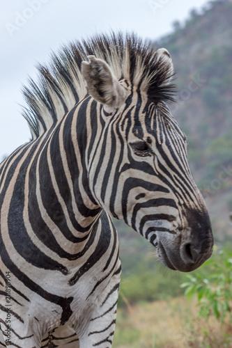 Spoed Foto op Canvas Zebra Burchels Zebra in Pilanesberg National park