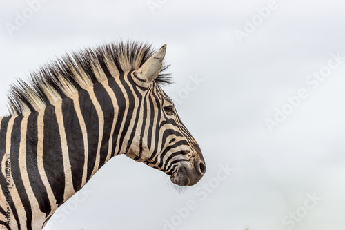 Foto op canvas zebra foto op canvas zebra burchels zebra in pilanesberg national park altavistaventures Image collections