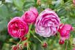 Roses in a Paris Park