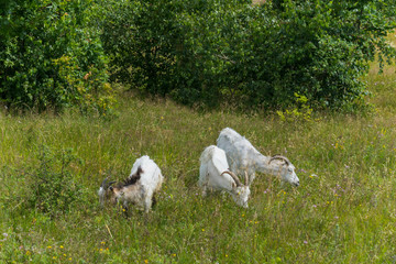 Three horned goats are grazed on the meadow near the young green birches