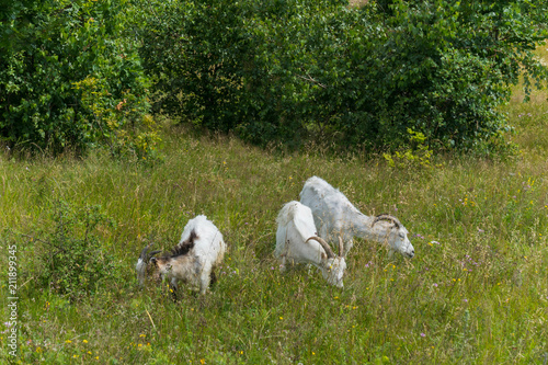 Tuinposter Zwaan Three horned goats are grazed on the meadow near the young green birches
