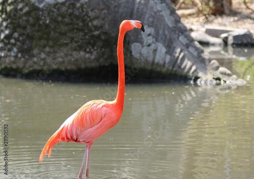 Foto op Plexiglas Flamingo フラミンゴ 紅フラミンゴ