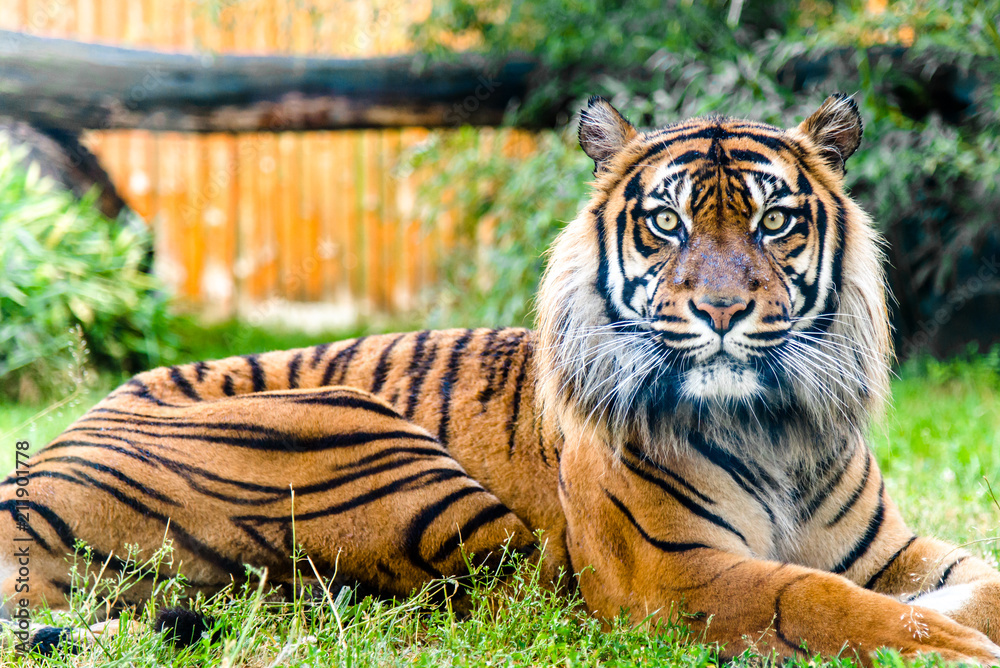 Fototapeta Portrait of tiger looking at the camera. Front view of panthera tigris in. Animals in zoo.