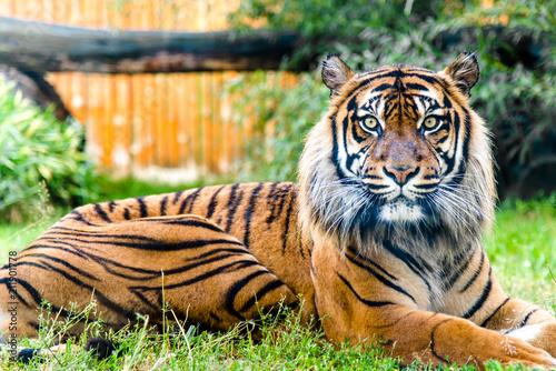 Naklejki tygrys   portret-tygrysa-patrzac-w-kamere