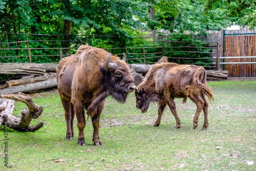 Fényképezés  Auroch, animal in zoo